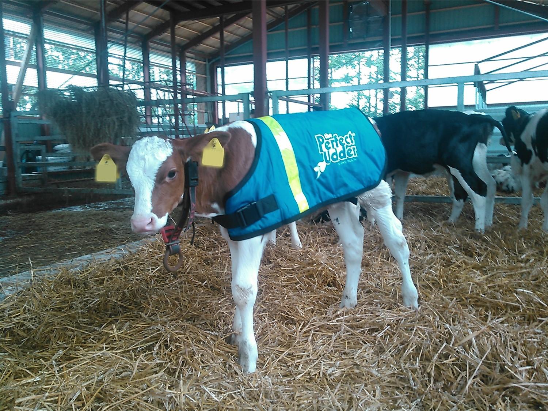 DT_calfjacket_cow.jpg
